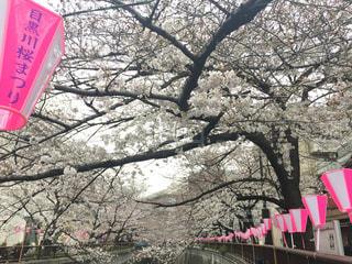 目黒川桜まつりの写真・画像素材[1875147]