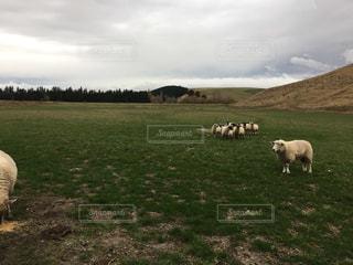ニュージーランドの羊の写真・画像素材[2113324]