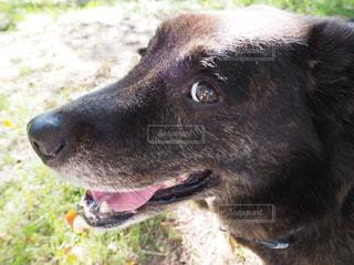 犬,目,見つめる,雑種,ミックス,ミックス犬,大型犬,視線,黒い犬