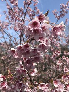 咲くときは、一気に。の写真・画像素材[1078486]