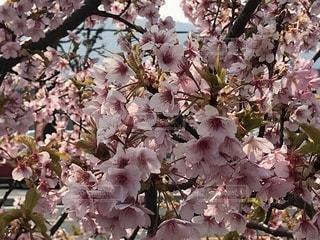 桜の花の写真・画像素材[1086588]