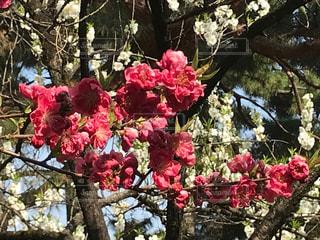 桃の花の写真・画像素材[1086603]