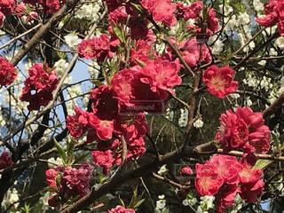 桃の花の写真・画像素材[1086604]