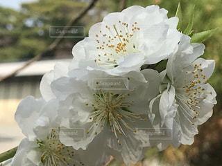 桃の花の写真・画像素材[1086608]