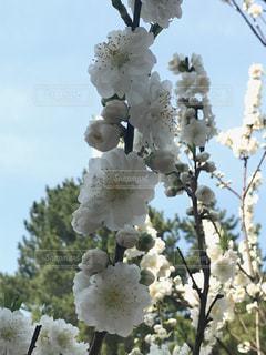 桃の花の写真・画像素材[1086609]