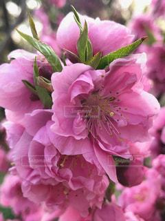 桃の花の写真・画像素材[1086611]