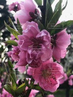 桃の花の写真・画像素材[1086612]