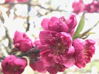 桃の花の写真・画像素材[1086616]