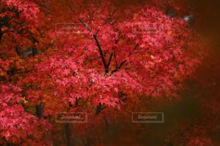 ピンクの花の木の写真・画像素材[2740955]