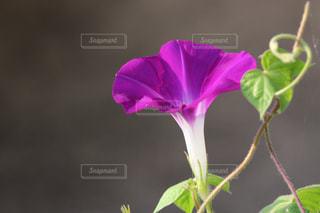 紫色の花の花瓶の写真・画像素材[2795921]