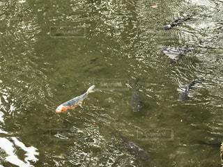 鯉の写真・画像素材[387606]