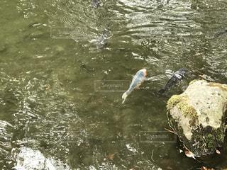 鯉の写真・画像素材[387609]