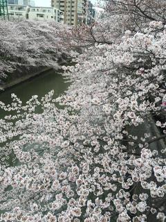 桜 - No.355262