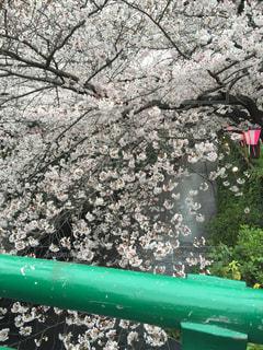 桜 - No.355264