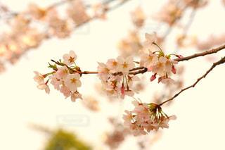 春の写真・画像素材[416480]