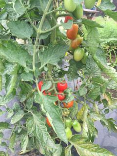 トマトの写真・画像素材[357075]