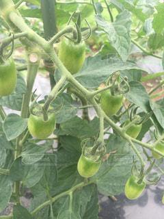トマトの写真・画像素材[357077]
