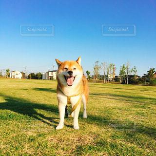 犬,公園,冬,動物,散歩,ペット,柴犬,住宅地