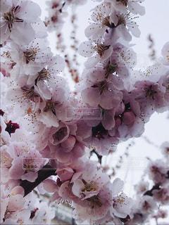 梅の花のアップの写真・画像素材[1064485]