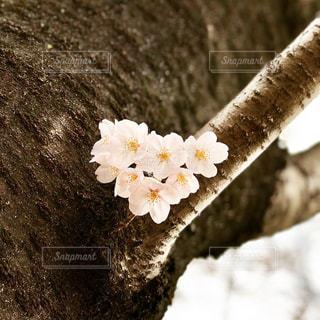 桜の花のハートの写真・画像素材[1144086]