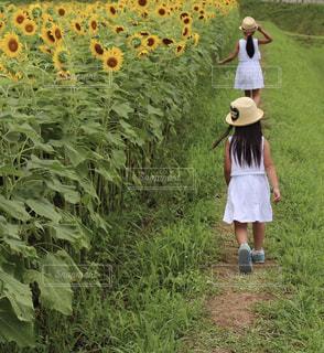 ひまわり畑の写真・画像素材[1219903]