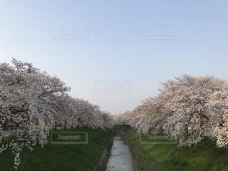 桜の写真・画像素材[2137032]
