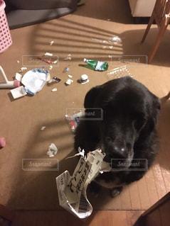 犬,かわいい,いぬ,可愛い,幸せ,瞳,見つめる,雑種,ラブラドール,大型犬,ひとみ,やんちゃ,ゴミ,カワイイ,たのしい,みつめる,ごみ,ヤンチャ,荒らす