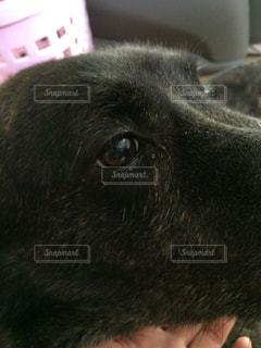 犬,かわいい,いぬ,可愛い,目,瞳,雑種,ラブラドール,大型犬,ひとみ,カワイイ,悲しげ