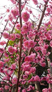 梅の花の写真・画像素材[1022486]