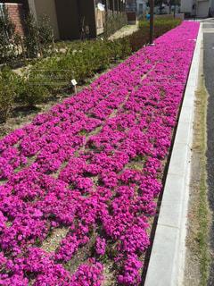 芝桜の写真・画像素材[1028224]