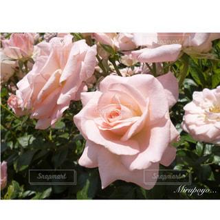 花の写真・画像素材[361882]