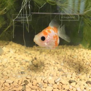 金魚の写真・画像素材[433135]