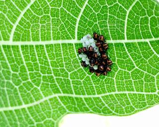 テントウムシの幼虫かと思って後で調べたらカメムシでしたΣ('◉⌓◉')の写真・画像素材[602824]