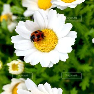 花とてんとう虫。の写真・画像素材[812795]