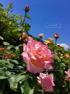 バラの花(^-^)。の写真・画像素材[1175912]