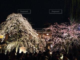 桜の写真・画像素材[373650]