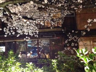 桜の写真・画像素材[373651]