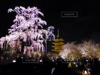 桜の写真・画像素材[381676]