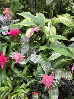 ピンクの花の写真・画像素材[1523530]