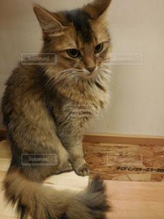 カメラを見ている猫の写真・画像素材[759341]