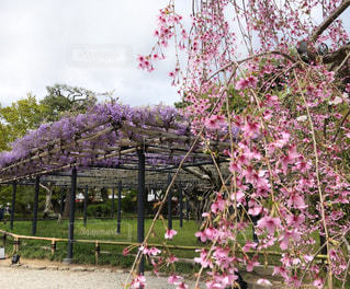木にピンクの花のグループの写真・画像素材[1118305]