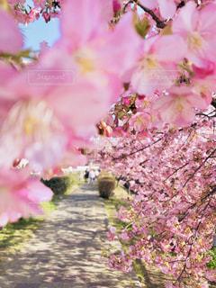 ピンクの花の写真・画像素材[2978134]