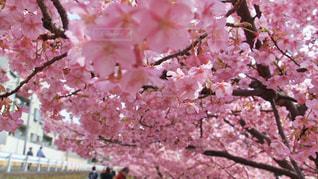 ピンクの花を持つ木の写真・画像素材[2990462]
