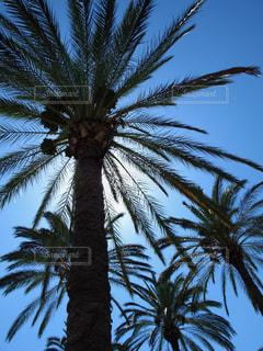 ヤシの木の写真・画像素材[764232]