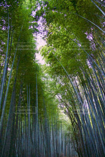 竹林の写真・画像素材[953897]