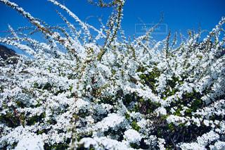 ユキヤナギの花の写真・画像素材[1152784]