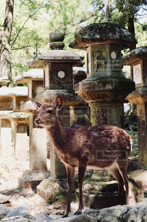 奈良の鹿の写真・画像素材[1197459]