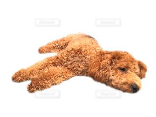 テディー ・ ベアの隣に横たわっている大きな茶色の犬の写真・画像素材[766272]