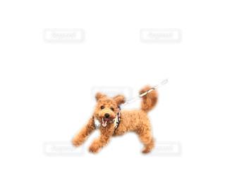 茶色と白犬の写真・画像素材[766274]