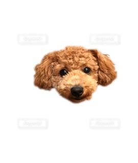 カメラを見て犬の写真・画像素材[766279]